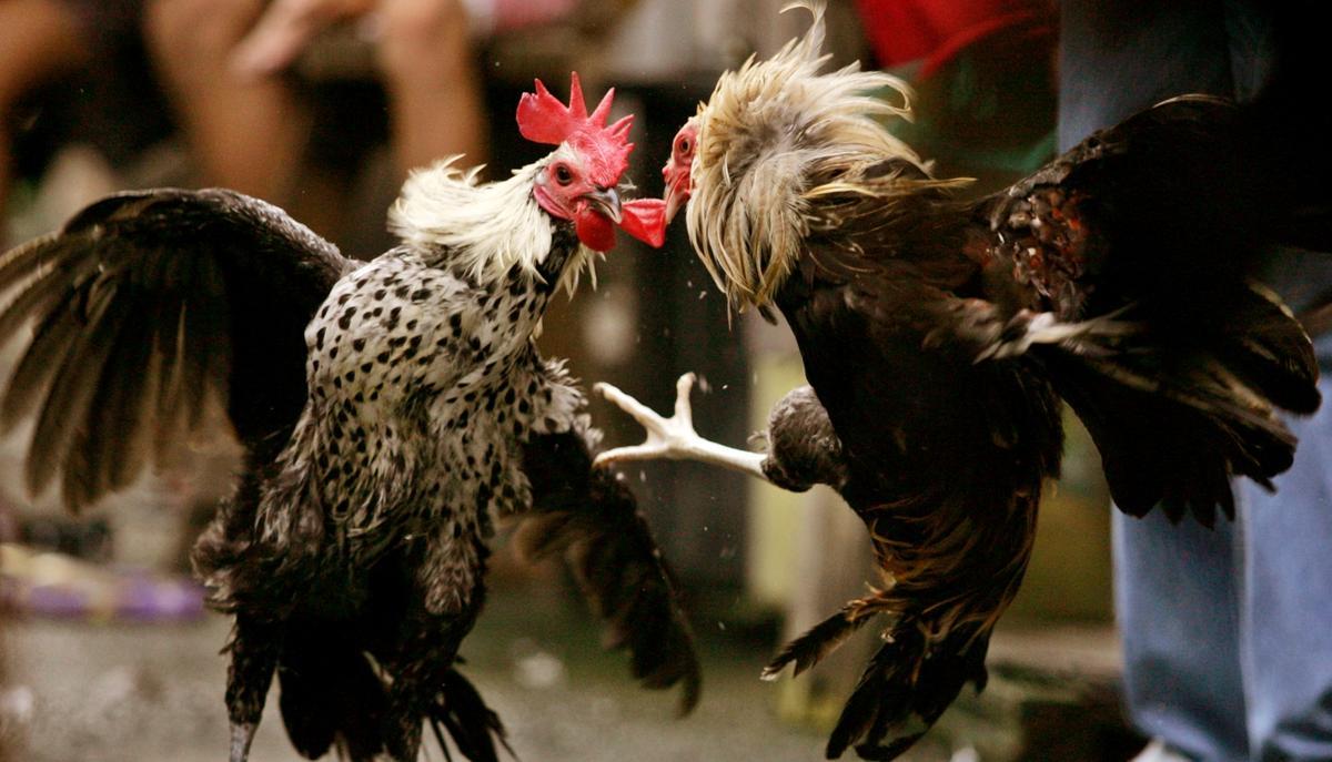 Keunggulan Sabung Ayam Online yang Wajib Diketahui